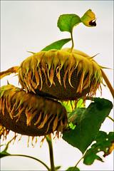 Sunflower..:) (Katarina 2353) Tags: summer sunflower katarinastefanovic katarina2353