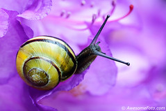 Snail Antenna vs Flower Stamen (james c. (vancouver bc)) Tags: pink black flower macro cute nature animal closeup garden nice eyes funny pattern different close slow ride purple body background small band shell snail tiny stamen azalea slime crawl stalk antenne antenna slimy zoomed