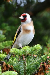 Goldfinch in the garden (ukmjk) Tags: nikon planet mm nikkor vr d500 200500