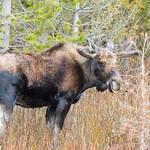 Very big bull Moose thumbnail