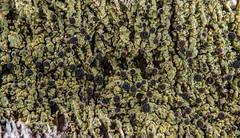 2016-05-02 23-43-09 (B,Radius20,Smoothing8)-Edit (Boy of the Forest) Tags: plants plant tree botanical bark vegetation environment lichen plantae botany lichens symbiotic symbiosis symbioticorganism