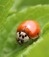 nettoyage de printemps (Lili redqueen) Tags: nature coccinelle observation