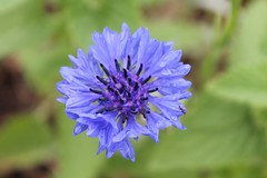 first bloom cornflower (Moon Rhythm) Tags: flowers usa love garden flora mother maryland easternshore wildflowers cornflower bobbie 2016 52216