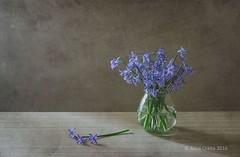 Blue Rain (alinalcraita) Tags: blue stilllife texture naturallight indoor romania springflowers hyacinth