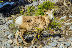 female bighorn sheep - sulphur mtn, banf NP, canada (AB) (Russell Scott Images) Tags: canada mountains rocky ab canadian alberta banff banffnationalpark bighornsheepoviscanadensis