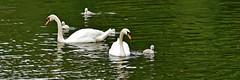 Schwan (Michael Dring) Tags: swan cygnet schwan gelsenkirchen buer bergersee schlossberge michaeldring d7200 sp150600