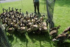 Ithaca Goose Banding (The NYSIPM Image Gallery) Tags: canadageese canadagoose cornelluniversity cals ithaca banding stewartpark collaring nysipm monitoring recordkeeping goose geese brantacanadensis