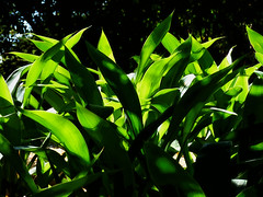 Light, Lines and Leaves (Steve Taylor (Photography)) Tags: shadow newzealand white plant black green art leaves sunshine digital sunny nelson nz southisland