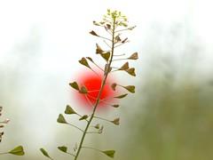 Hirtentschelkraut , NGIDn1830047902 (naturgucker.de) Tags: mritznationalpark naturguckerde carmindreisbach gewhnlicheshirtentschelcapsellabursapastoris ngidn1830047902