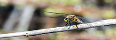 Dragonfly (Out of Focus [sic]) Tags: outside dragonfly stick landed woodlake naturecenter 4wings
