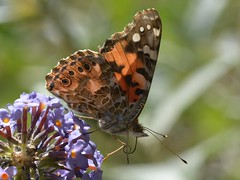 Painted Lady (Vanessa cardui) butterfly on well-named Butterfly Bush (Treebeard) Tags: california butterfly butterflybush paintedlady santabarbaracounty vanessacardui sanmarcospass sherpafire