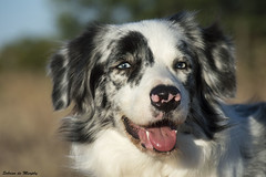 border collie 3 (Sobrino de Murphy) Tags: dogs animal collie border planet perros chiens canne