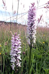 Common spotted orchids (billnbenj) Tags: pink orchid purple cumbria barrow wildorchid commonspottedorchid