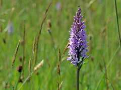gems of the roadside (midcheshireman) Tags: orchid flower cheshire wildflower