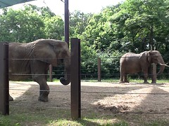 "Elephants at the Kansas City Zoo • <a style=""font-size:0.8em;"" href=""http://www.flickr.com/photos/109120354@N07/27856165365/"" target=""_blank"">View on Flickr</a>"