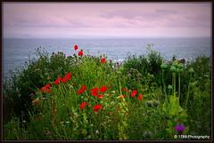 Coastal Path Flowers (Rollingstone1) Tags: poppies thistles sea seascape wildflowers ngc