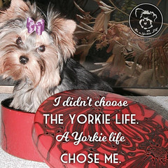 I dont regret it for a moment. (itsayorkielife) Tags: yorkiememe yorkie yorkshireterrier quote
