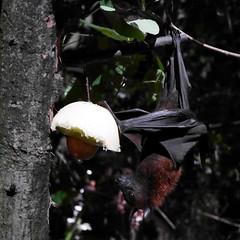 004 Night Safari - Fruit Bat (bjean21) Tags: singapore bat bats fruitbat nightsafari