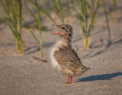 Mr. Big Stuff (kathybaca) Tags: baby bird beach birds animal fly feeding earth wildlife feathers aves chick shore planet hungry common downy tern