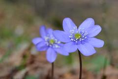 anemone hepatica (C-Smooth) Tags: hepaticanobilis flowers anemonehepatica nature macro wildflowers