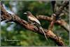 6340 - treepie (chandrasekaran a 38 lakhs views Thanks to all) Tags: treepie birds nature india chennai canon eos400d