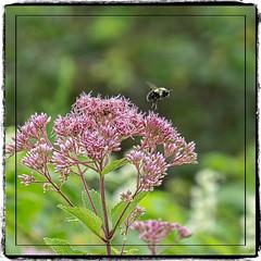 Caution: Bees at Work (mgstanton) Tags: heard bee flower pollination action on1pics waylandma summer sting