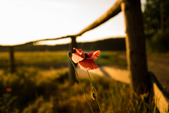 Alone (--Conrad-N--) Tags: fence friday hff poppies mohn sunset light red zeiss