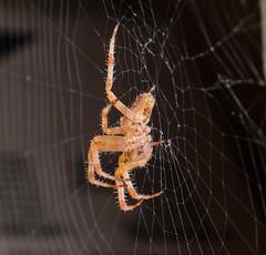 SPIDER / RAGNO (AGOSTO 2016) (MY SECRET WINDOW) Tags: spider ragno insect insetto web tela ragnatela animale profondit di campo allaperto