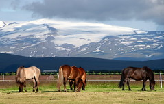 An Icelandic Scene (Alan1954) Tags: iceland horses volcano holiday nature 2016