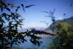 FLORA (eefzed) Tags: lugano flower flowers flora lagodilugano lake mpuntain green blue purple bokeh grottodeipescatori contaxcy3514 carl zeiss contax cy distagon 3514 zeissdistahon3514cy depthoffield nature distagon1435