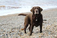 Rosie (ANDYM1958) Tags: chocolatelabrador