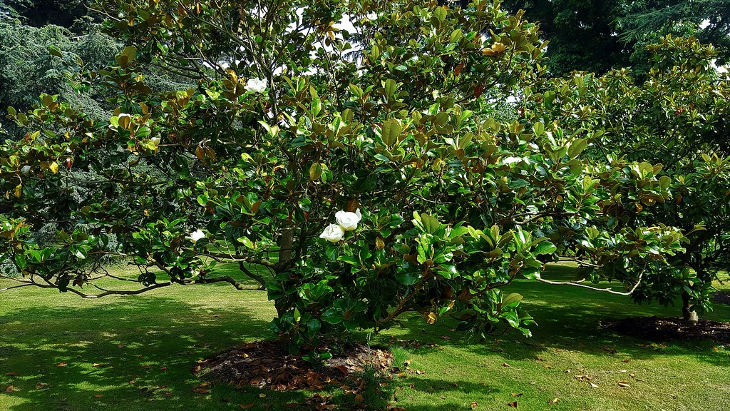 the world 39 s best photos of shrub and whiteflowers flickr hive mind. Black Bedroom Furniture Sets. Home Design Ideas