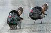 Strutting Toms (jimgspokane) Tags: tomturkeys turkeys wildlife birds washingtonstate otw