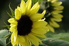 sunflower_2016 (Zygmunt Su...) Tags: saveearth fantasticflower