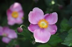big in japan (Simple_Sight) Tags: flower pink plant garden outdoors neture closeup green red yellow flickr macro japan petal rosa grn garten pflanze blume blte blossom bokeh dof