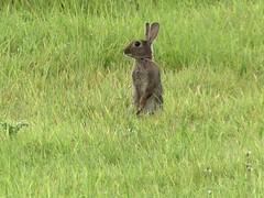 Ltt Matten de Has (BrigitteE1) Tags: lttmattendehas hase hare wild wildlife deutschland mammal nature standing searching warning specanimal