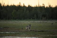 Loup dans la taga (Samuel Raison) Tags: loup wolf wolfe canislupus wild wildlife nature animal animauxsauvages free rare finlande finland kainuu nikonpassion fantasticwildlife meute scenery taga