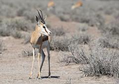 Springbok (anacm.silva) Tags: springbok antlope antilope wild wildlife nature natureza naturaleza africa namibia etosha mammal mamfero frica nambia etoshanationalpark