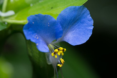 Flower (benevolentkira7) Tags: flower blue yellow beautiful colorful lovely stem niceoutdoor outdoors plant
