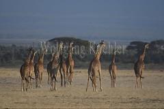 10076059 (wolfgangkaehler) Tags: 2016africa african eastafrica eastafrican kenya kenyan amboseli amboselikenya amboselinatlparkkenya amboselinationalpark wildlife mammal giraffe giraffes giraffacamelopardalistippelskirchi herd tower group