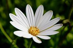 Hello Sunshine_1123_2 (Rikx) Tags: sunshine spring sun sunlight daisy garden flower white whitedaisy whiteflower canon80d adelaide southaustralia 3f fantasticflowers