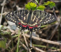 Dragon Swallowtail - female (mishko2007) Tags: sericinusmontela dragonswallowtail korea 105mmf28