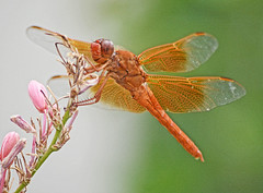COME ON, LIGHT MY FIRE (Irene2727) Tags: flameskimmer firecrackerskimmer dragonfly orange flowers nature bug wings ngc