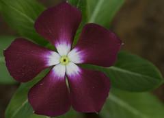Annual Vinca (Emi.R.) Tags: vinca annual magenta flower closeup nature plant fall autumn summer uae