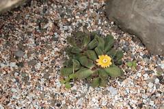 Aloinopsis spathulata_101616_0771