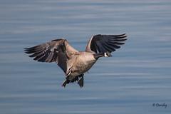 Landing Gear Down! (Jersey Camera) Tags: geese goose canadageese brantacanadensis canadagoose delawareriver redbankbattlefield