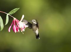 Hummingbird with Honeysuckle (Connie Etter Photography) Tags: 1dmarkiv flight indiana flower eat honeysuckle canon 100400mm rubythroat rubyredthroat