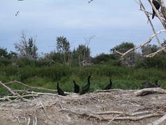 High Island Natural Area (Alberta Parks) Tags: high island natural area highislandnaturalarea birds eggs nest nests chicks hatching life circleoflife naturalarea