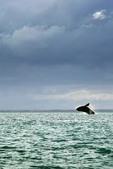 southern right whale / ballena franca austral / Zuidkaper (Erik Schepers) Tags: patagonia rio negro argentina viedma san antonio este whiletraveling travel whale ballena zuidkaper eubalaena australis southern right walvis jump