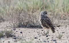 Burrowing Owl (Athene cunicularia); Los Lunas, NM [Lou Feltz] (deserttoad) Tags: nature newmexico bird wildbird wildlife raptor owl desert behavior migration